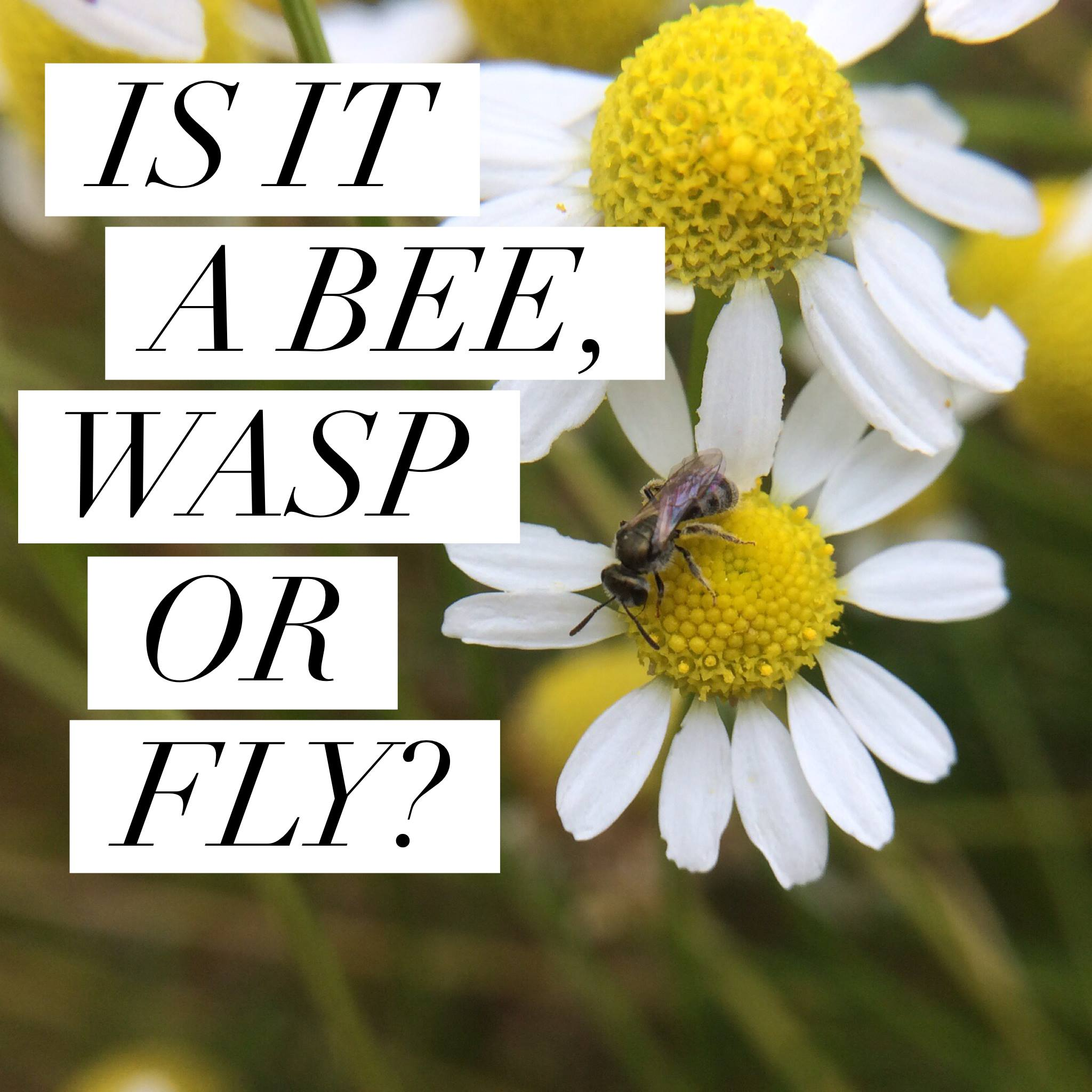 IS IT A BEE, WASP OR FLY?