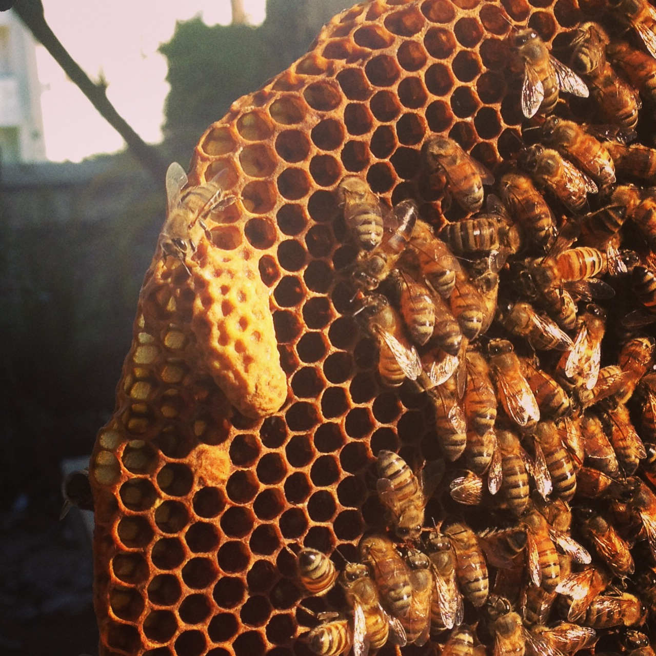 Signs Your Colony Is Queenless Beekeeping Like A Girl