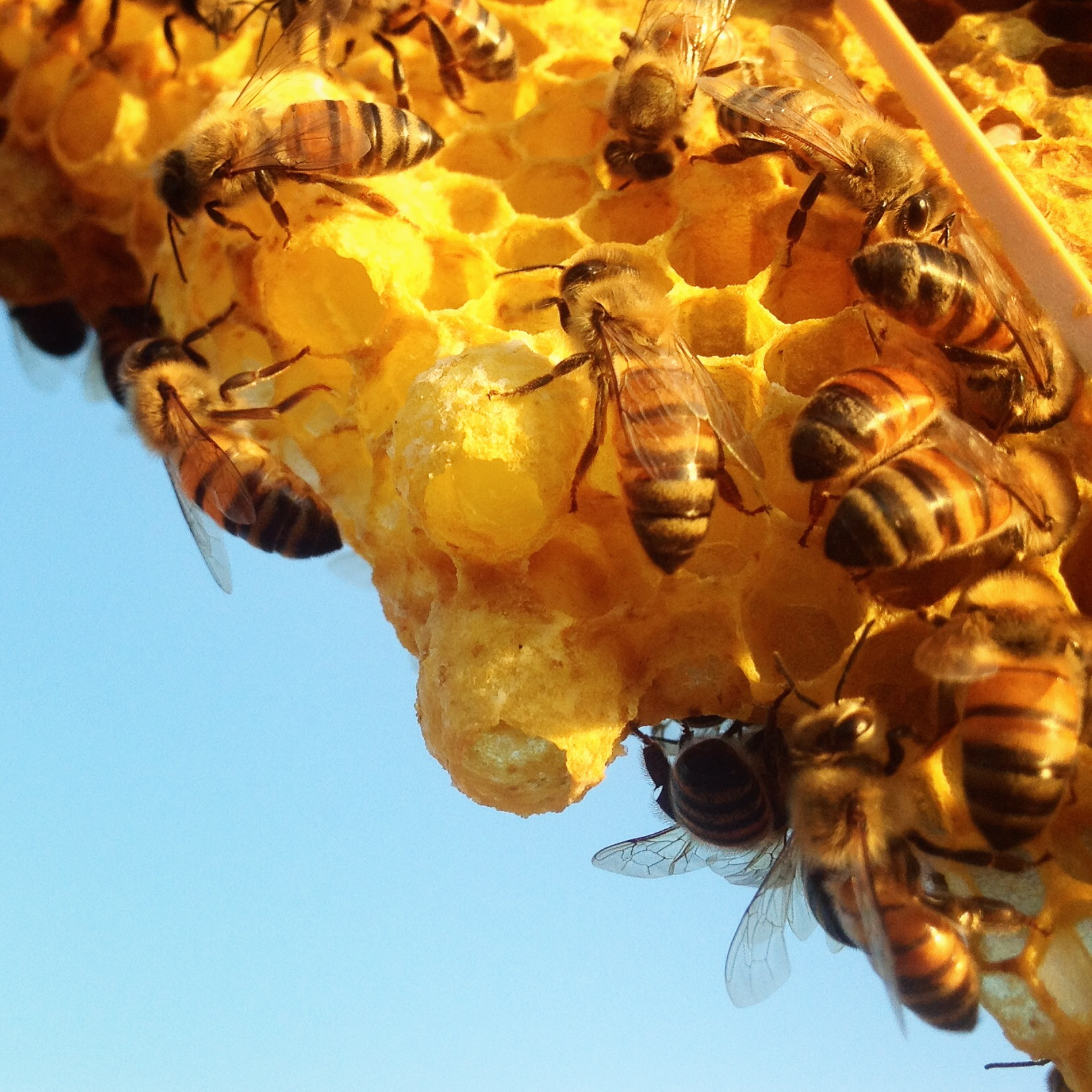 Beekeeping Like A Girl Signs Your Colony Is Queenless