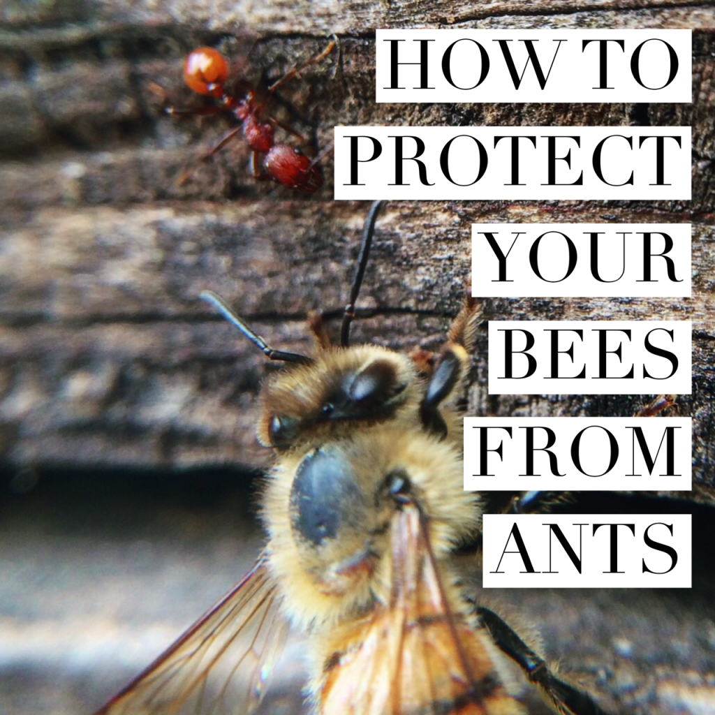 HOW TO PROTECT YOUR HIVE FROM ANTS