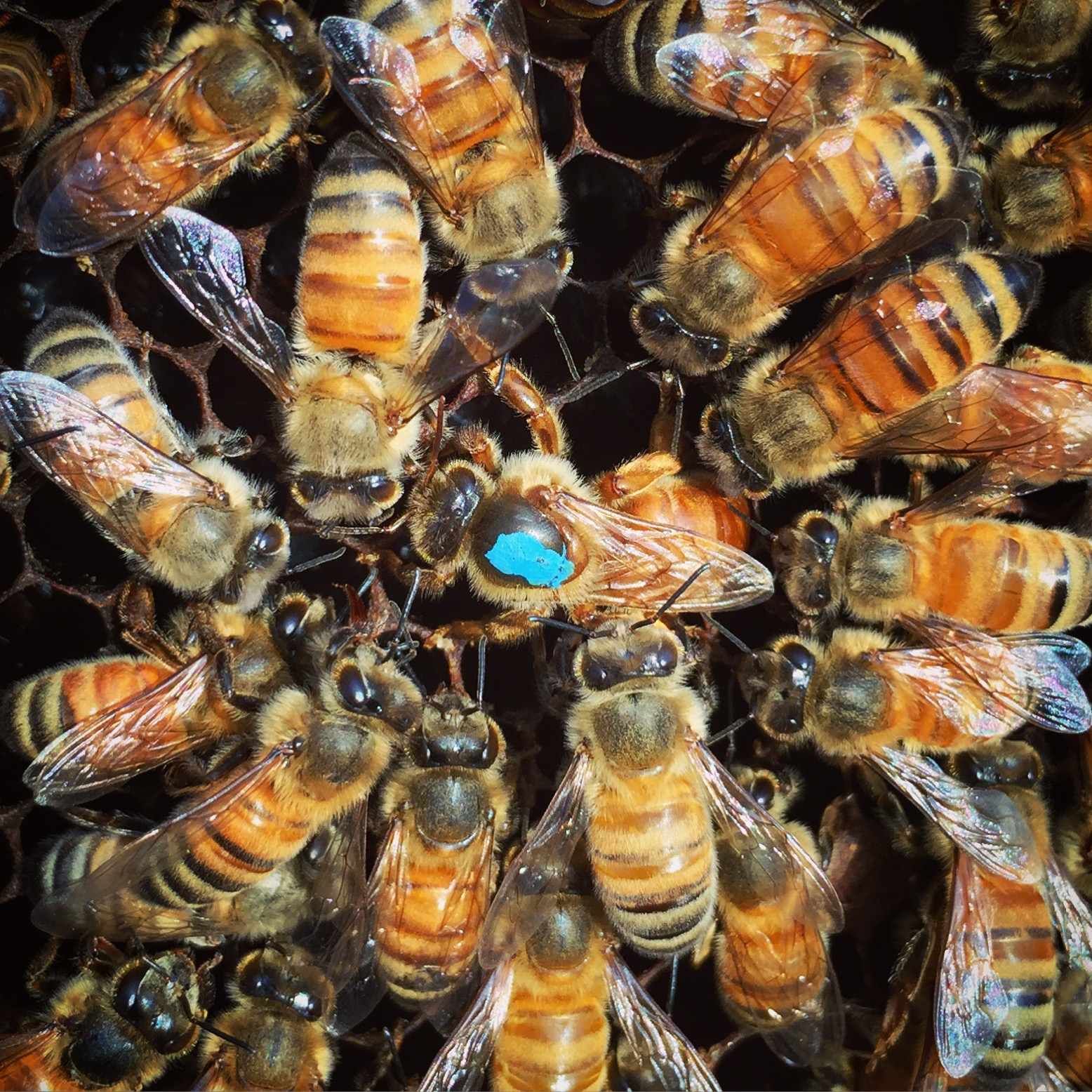 6 Things You Didn T Know About Queen Bees Beekeeping Like A Girl