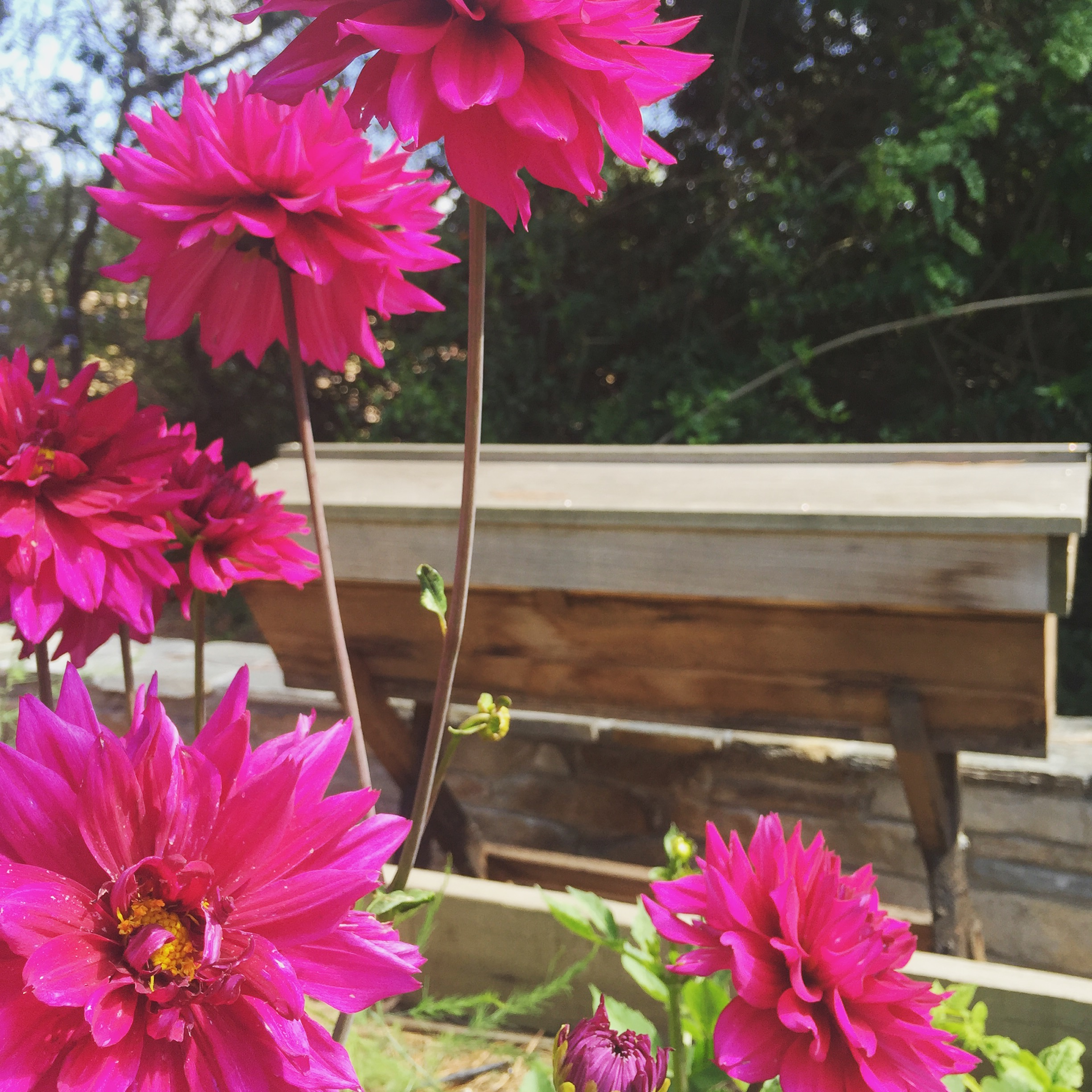 Beekeeping like a girl top 10 bee friendly flowers top 10 bee friendly flowers mightylinksfo
