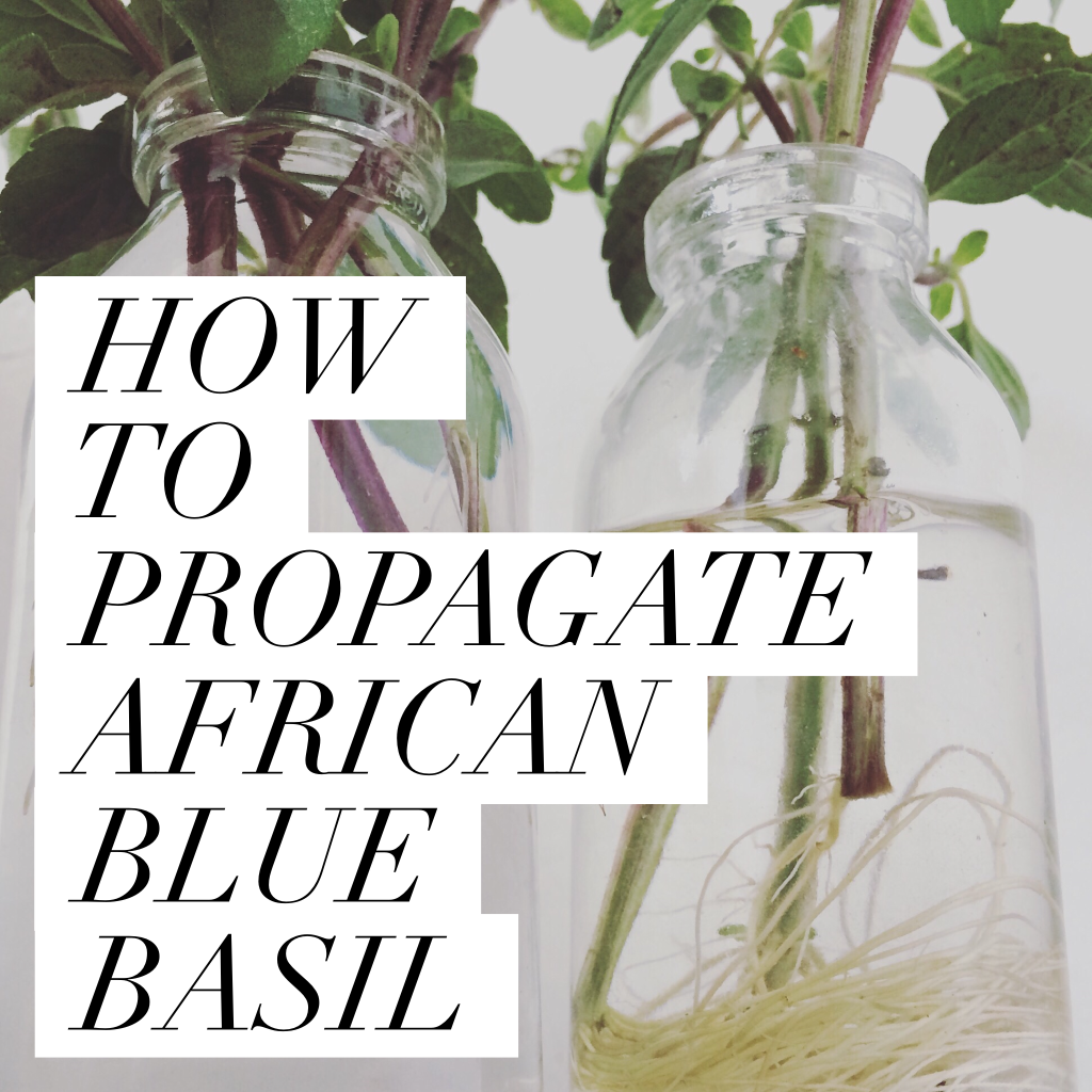 HOW TO PROPAGATE AFRICAN BLUE BASIL!