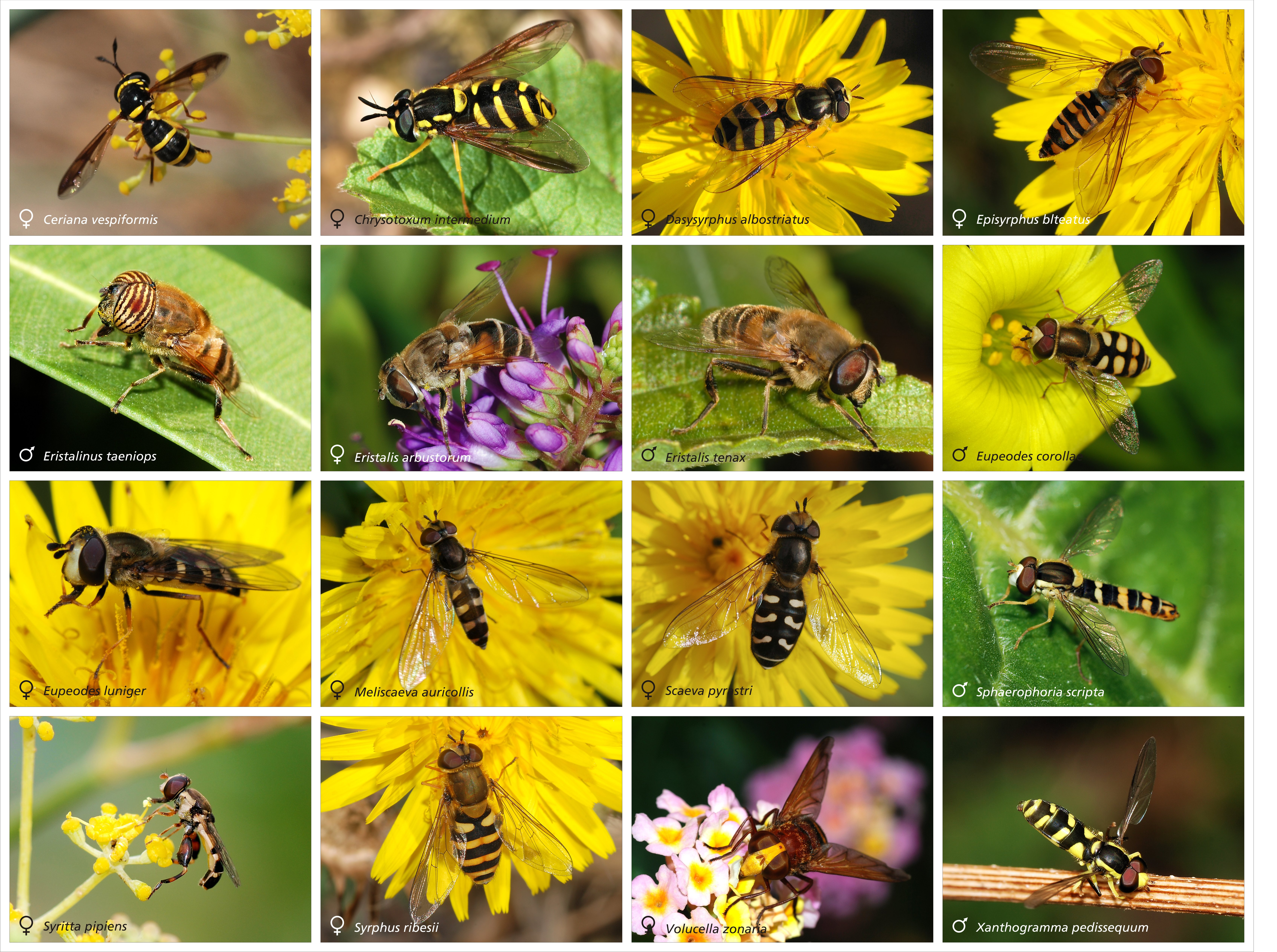 Syrphidae_poster