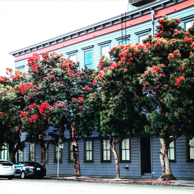 UrbanBeeSF city trees in flower