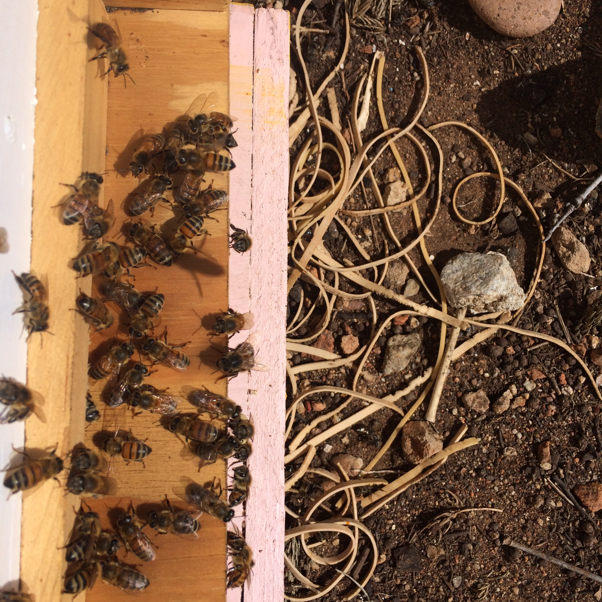 beekeeping like a how to foundationless beekeeping in a