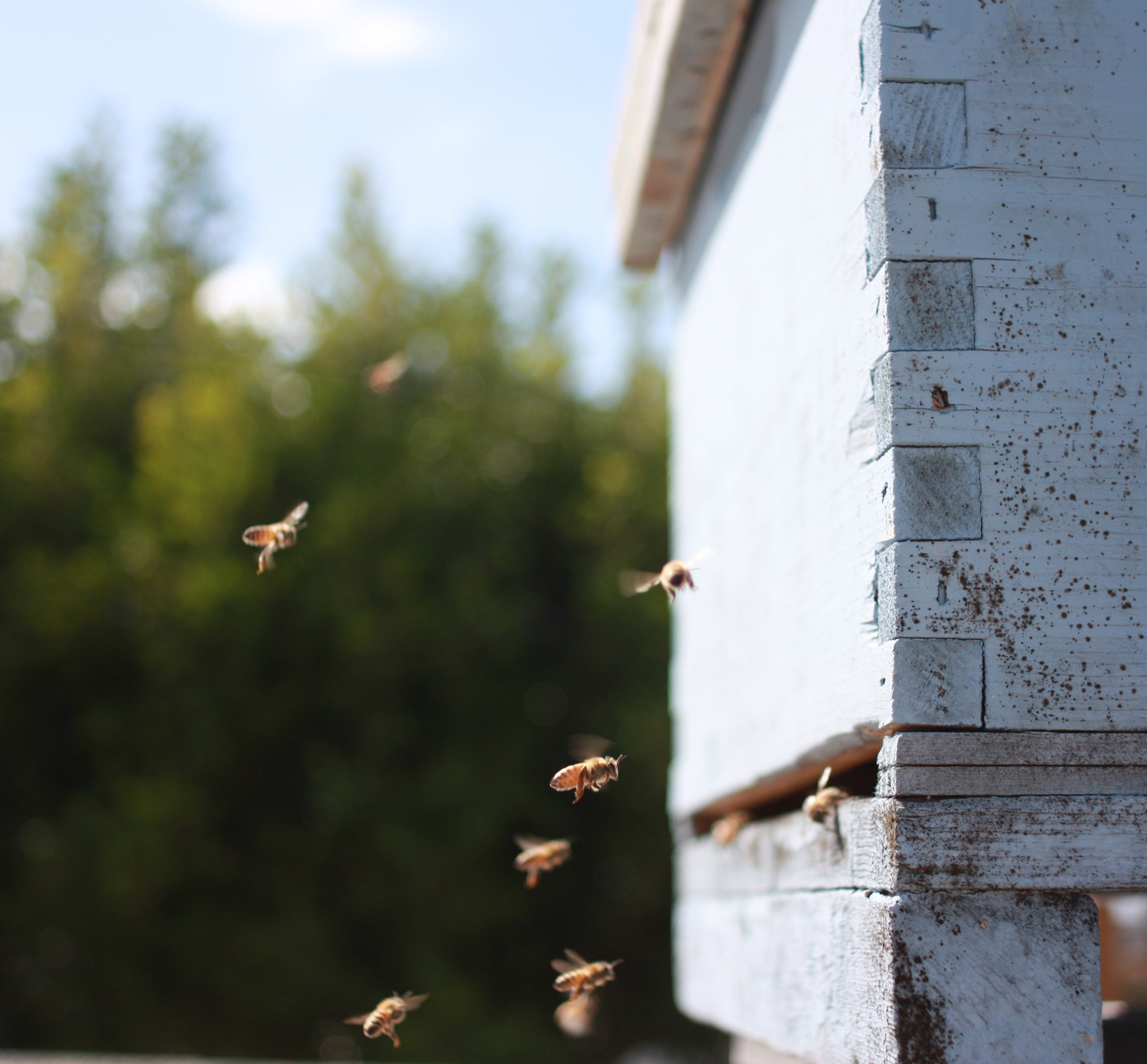 Natural Beekeeping In A Langstroth Hive