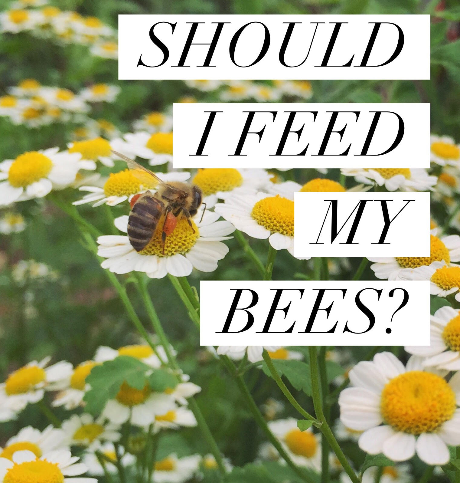 Can I Raise Bees In My Backyard beekeeping like a girl should i feed my bees?