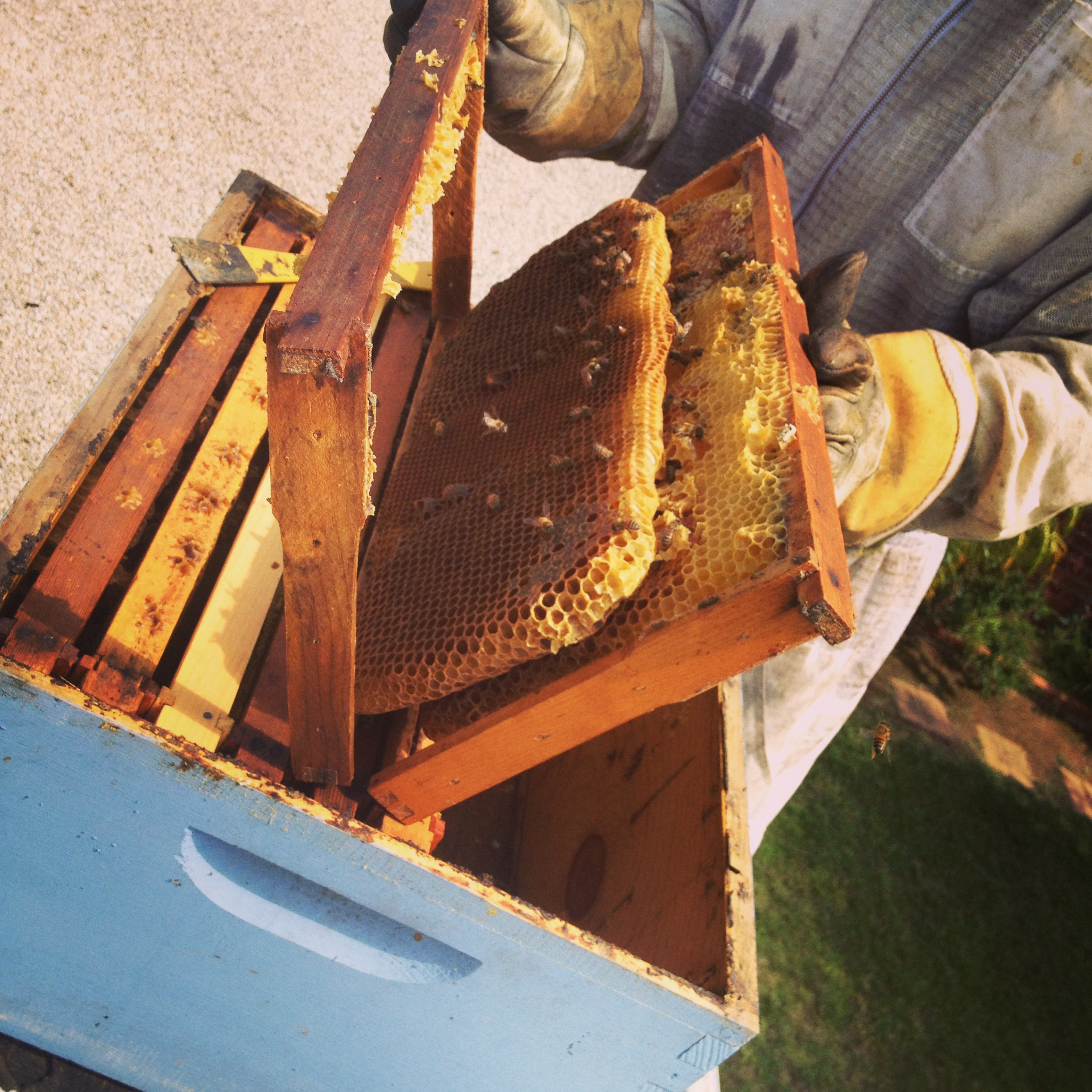 HOW TO: FOUNDATIONLESS BEEKEEPING IN A LANGSTROTH HIVE